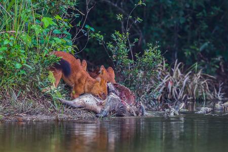 cuon: Asian Wild Dog (Cuon alpinus infuscus) eating wild boar in nature at Khaoyai National Park, Thailand Stock Photo