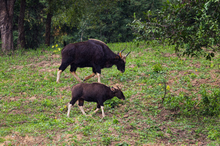 Male Gaur  (Bos gaurus laosiensis) and his son walking in the rain in nature at Khao Pangma mountain , Thailand Stock Photo - 33482832
