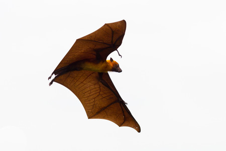 pteropus: Flying Lyles flying fox (Pteropus lylei) in the sky in nature of Thailand