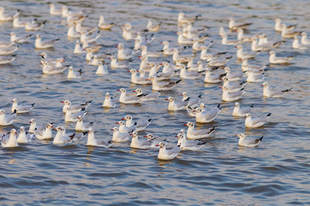 chroicocephalus: Big group of  Brown-headed gull (Chroicocephalus brunnicephalus) floating on the sea in nature in Thailand Stock Photo