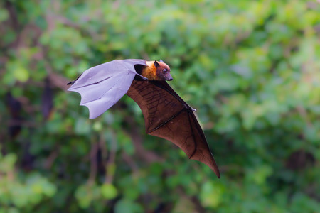 pteropus: Flying Lyles flying fox (Pteropus lylei) with green background in nature of Thailand