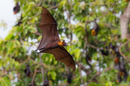 Full open wings of flying male Lyle\\