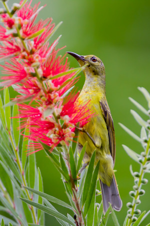 simplex: Portrait of Plain Sunbird(Anthreptes simplex) with the flower in nature at Keangkrajarn National Park, Thailand