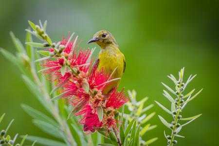 simplex: Plain Sunbird(Anthreptes simplex) with the flower in nature at Keangkrajarn National Park, Thailand Stock Photo