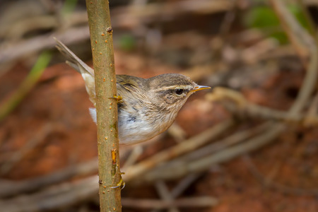 warblers: Dusky Warbler(Phylloscopus fuscatus)on the branch in nature ,Thailand Stock Photo