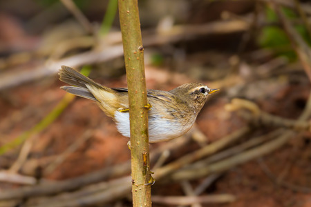 warblers: Dusky Warbler(Phylloscopus fuscatus) in nature at Pakchong,Thailand