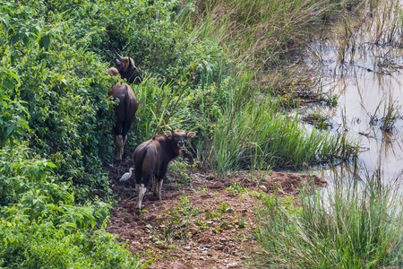 bos: Mum and son of  Gaur (Bos gaurus laosiensis) in nature at Khao Pangma mountain , Thailand