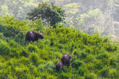bos: Group of  Gaur (Bos gaurus laosiensis) on the hill with evening light in nature at Khao Pangma mountain , Thailand Stock Photo