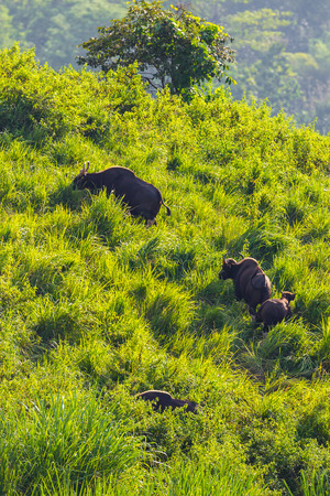 bos: Portrait group of Gaur (Bos gaurus laosiensis) on the hill in nature at Khao Pangma mountain , Thailand