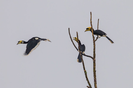 khaoyai: Group of Oriental pied hornbill (Anthracoce ros albirostris) on the morning light in nature at Khaoyai national park, Thailand Stock Photo