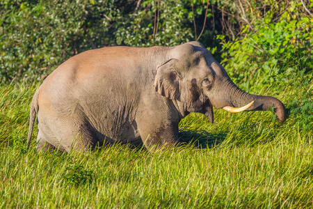 tribal park: Wild elephant (Asian elephant) is eating on the field in nature at Khaoyai national park,Thailand Stock Photo
