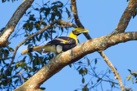 strikingly: Right side of Young Great hornbill (Buceros bicornis)  in nature at Khaoyai national park,Thailand