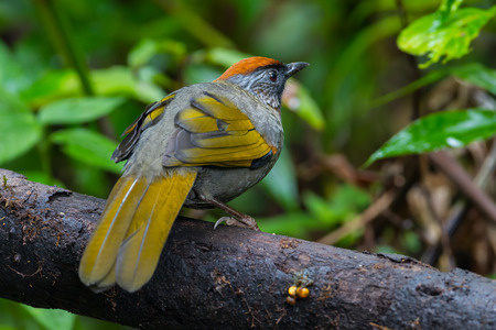 silver eared: Back side of Silver-eared Laughingthrush