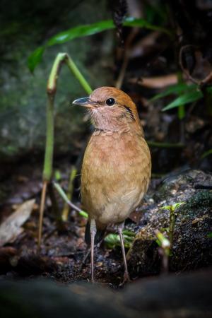 prin: Retrato de Rusty-naped Pitta (Hydrornis oatesi) en la naturaleza