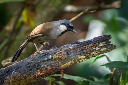 Black-throated laughingthrush (Garrulax chinensis) on the wood photo