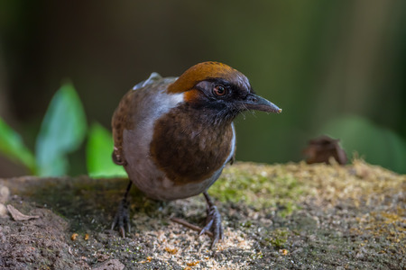 laughingthrush: White-necked laughingthrush (Garrulax strepitans)on the rock