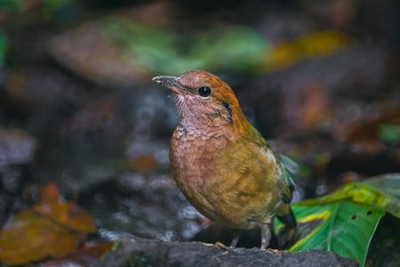 prin: Cierre de Rusty-nuca Pitta (Hydrornis oatesi) en la naturaleza en Tailandia