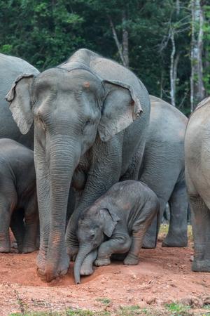 sone: Lovely mom and sone of Wild Elephant eating salt lick
