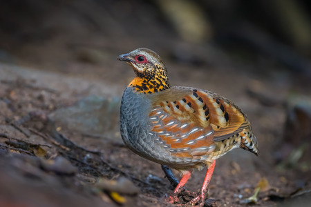 kuropatwa: Left side of Arborophila rufogularis (rufous-throated partridge) in nature at Meawong national park,Thailand
