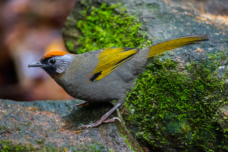 silver eared: Full close up of Silver-eared Laughingthrush(Trochalopteron melanostigma) in nature at Meawong national park,Thailand Stock Photo
