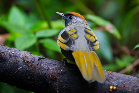 laughingthrush: Backside of Silver-eared Laughingthrush(Trochalopteron melanostigma) in nature at Meawong national park,Thailand Stock Photo