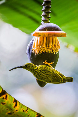 The streaked spiderhunter (Arachnothera magna) in nature at Meawong national park ,Thailand photo