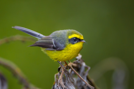 samll: Close up of  Yellow-bellied Fantail (Chelidorhynx hypoxantha) in nature at Intanon national park,Thailand