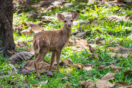 Young Hog deer(Hyelaphus porcinus) stair at us in nature at Maewong national park,Thailand