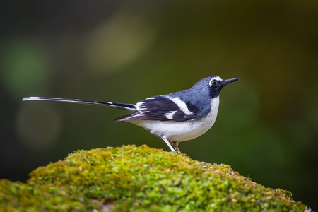 slaty: Side view of Lovely Slaty-backed forktail (Enicurus schistaceus) in nature at Intanon national park,Thailand Stock Photo