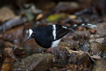 Northern White-crowned Forktail ( Enicurus sinensis ) in nature at Maewong national park,Thailand