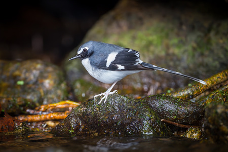 slaty: Lovely Slaty-backed forktail (Enicurus schistaceus) in nature at Intanon national park,Thailand