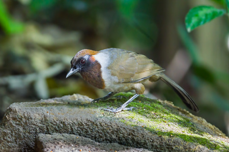 White-necked laughingthrush (Garrulax strepitans) on the rock in nature at Meawong national park,Thailand