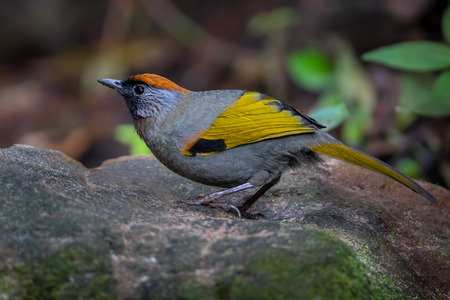 Close up of Silver-eared Laughingthrush(Trochalopteron melanostigma) in nature at Meawong national park,Thailand