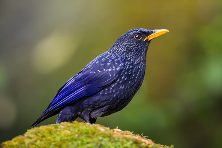 Close up of  Blue Whistlingthrush(Myophonus caeruleus) in nature at Meawong national park,Thailand