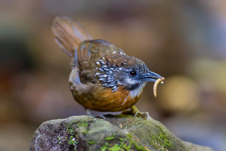 Spot-necked Babbler ( Stachyris striolata ) in nature at  Maewong national park,Thailand