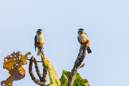 Couple of  Collared Falconet (Microhierax caerulescens) in the branch in nature at Intanon national park,Thailand