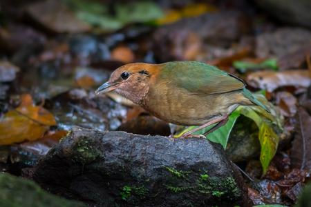 nape: Pitta oatesi (Rusty-naped Pitta)  in nature at Maewong national park,Thailand
