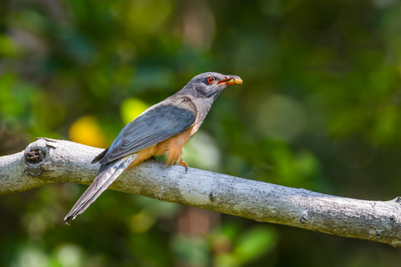 Male Plaintive Cuckoo(Cacomantis merulinus) with worm in his mount in nature of Thailand