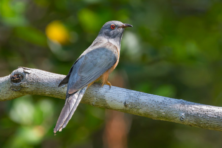 plaintive: Male Plaintive Cuckoo(Cacomantis merulinus) catch on the branch in nature in Thailand
