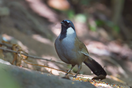 laughingthrush: Black throated laughingthrush (Garrulax chinensis) in nature at Maewong national park,Thailand Stock Photo
