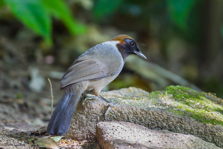 laughingthrush: White-necked laughingthrush (Garrulax strepitans) on the rock in nature at Meawong national park,Thailand