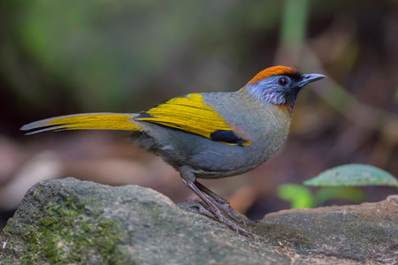 silver eared: Close up of Silver-eared Laughingthrush(Troc halopteron melanostigma) in nature at Meawong national park,Thailand