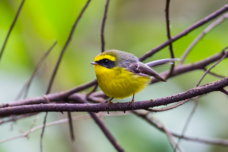 samll: Yellow-bellied Fantail (Chelidorhynx hypoxantha) on the branch in nature at Intanon national park,Thailand