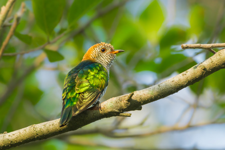 maculatus: Female Asian Emerald Cuckoo (Chrysococcyx maculatus)  on the branch in nature in Thailand Stock Photo