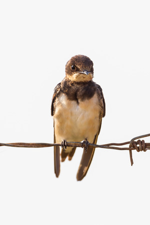 thialand: Close up of Barn swallow (Hirundo rustica) in nature in Thialand