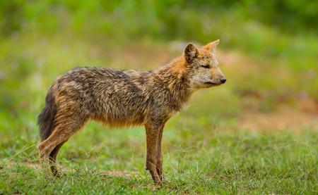 male killer: Young wild Jackal (Canidae ) at Kaengkrajarn national park,Thailand Stock Photo