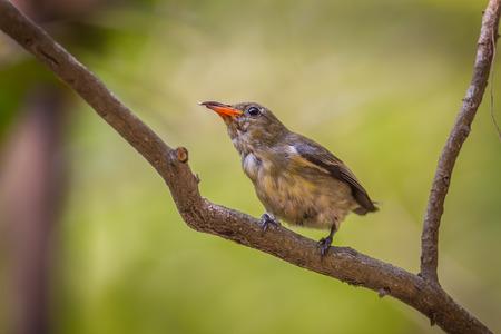 pecker: Portrait of young Scarlet-backed Flowerpecker(Dicaeum cruentatum) in nature in Thailand