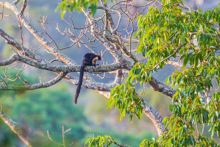 black giant: Black giant squirrel(Ratufa bicolor) relaxing on the tree in nature at Khaoyai national park,Thailand