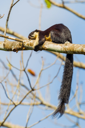 black giant: Black giant squirrel(Ratufa bicolor)  sleeping on the tree in nature at Khaoyai national park,Thailand