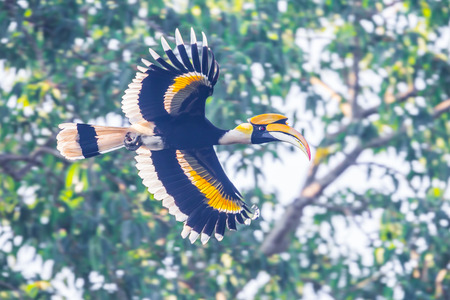 strikingly: Full wings expand of Great hornbill (Buceros bicornis) in nature at Khaoyai national park,Thailand Stock Photo